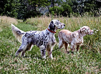 The English Setter has ability to cover an enormous amount of ground quickly, he can be a great asset in more open territory such as those found in the Midwest, West and South.