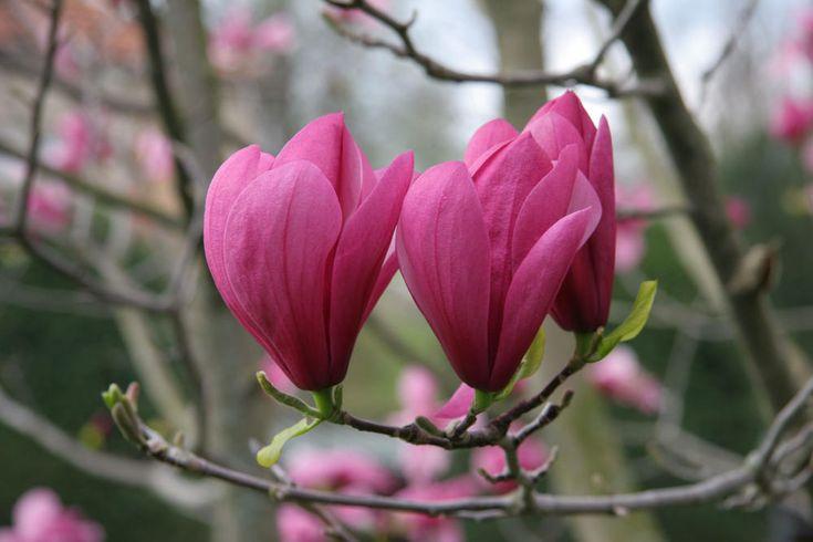 Magnolienbäume: Große Wirkung auch in kleinen Gärten