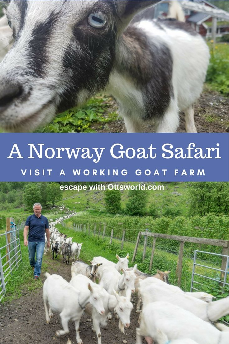 Add This Goat Safari to Your Norway Itinerary