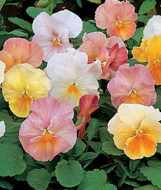 "Antique Pastel Pansy 35 seeds for $4.95  Nothing adds merriment to a flowerbed like our whimsical pansies. These unique, silky 3"" flowers bloom in old fashioned pastel shades, early and continuously. Pansy plants ship in early fall, at your proper planting time. Space plants 6"" apart."