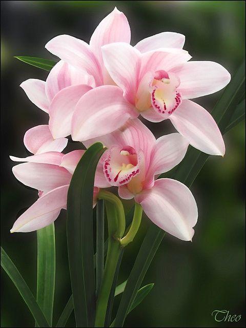 Pretty pink orchids. Una de las orquídeas Con más carácter.