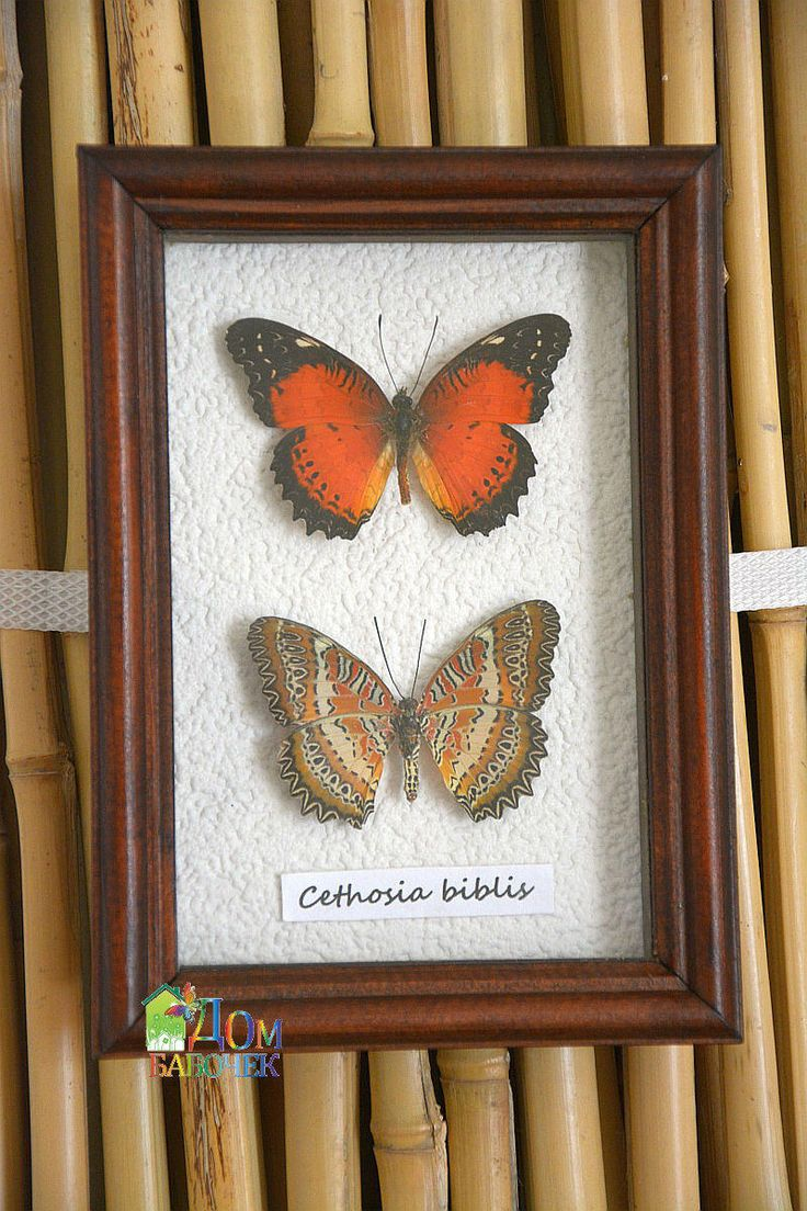 Home Decor Framed Natural Tropical Butterflies Red Cethosia Biblis by HouseOfButterfly on Etsy