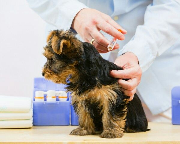 Ask a Vet: Do Lepto Vaccines Cause Bad Reactions in Dogs? http://www.dogster.com/lifestyle/ask-a-vet-do-lepto-vaccines-cause-bad-reactions-in-dogs