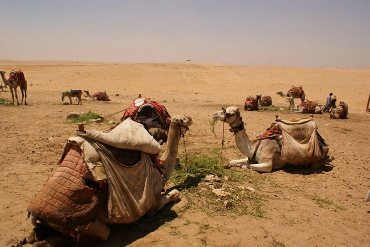 Camels happily lying in the sun munching on hay