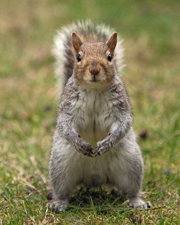 25 Best Ideas About Eastern Gray Squirrel On Pinterest