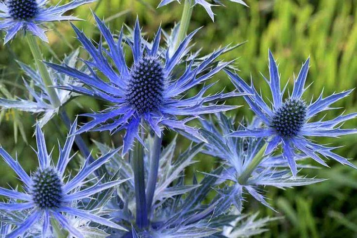 Image result for sea holly plant