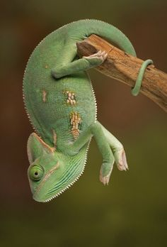 The chameleon's tail is excellently adapted for tree climbing to hang from branches.