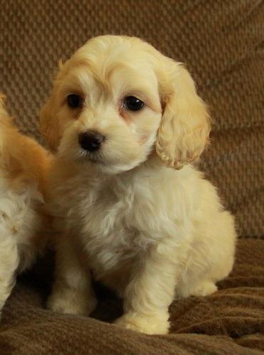 Cockapoo Puppies - adorable small white/cream wavy female. Soooo cute!