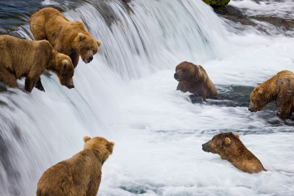 Brown bears wait for sockeye salmon to jump at Brooks Falls in Alaska's Katmai National Park and Preserve.