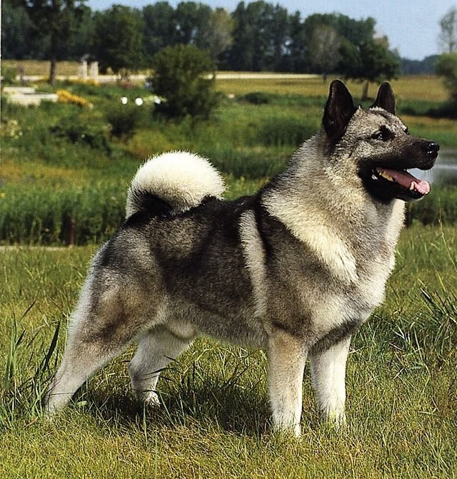 Norwegian Elkhound. These are so smart, and great as therapy dogs. My first pet when I move out :)