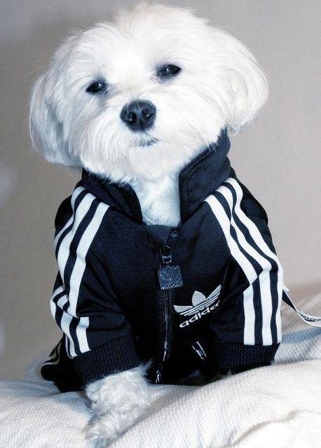 Rocky x Adidas #cutest! #Puppy #Pets