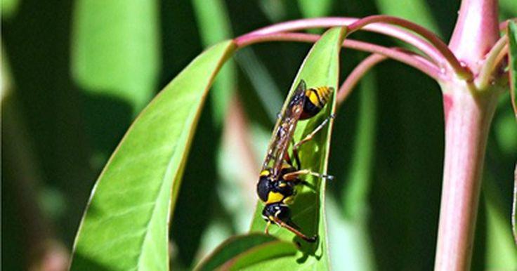 """Vespa preta e vespa do barro. As vespas """"Sceliphron caementarium"""", mais comumente conhecidas como amassadoras de barro, são nativas da América do Norte. Junto com a grande vespa preta, as vespas do barro pertencem a um grupo único de agressivas vespas de caça que apresentam diferentes comportamentos e habitats das vespas sociais comuns, como as jaquetas amarelas. Elas são ..."""
