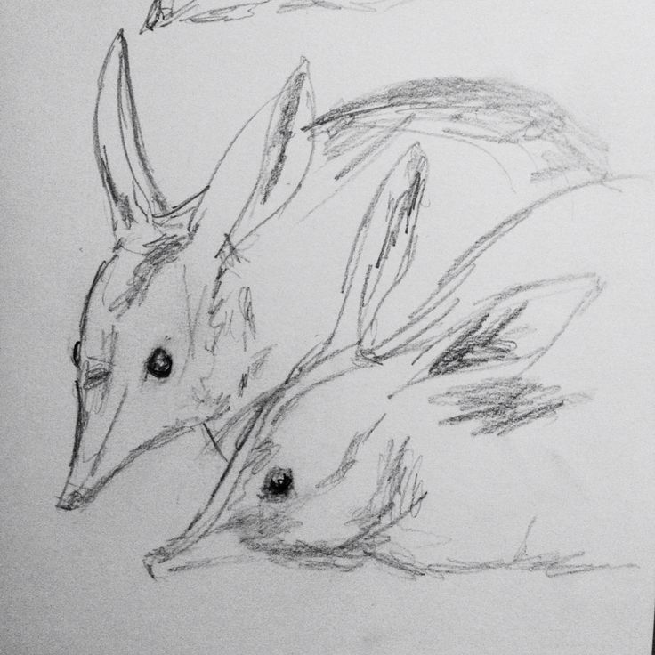 Greater Bilbies, at Healesville Sanctuary, by Patricia Denis #patriciadartist