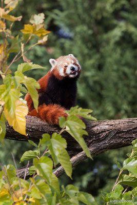 Panda roux, Zoo Beauval
