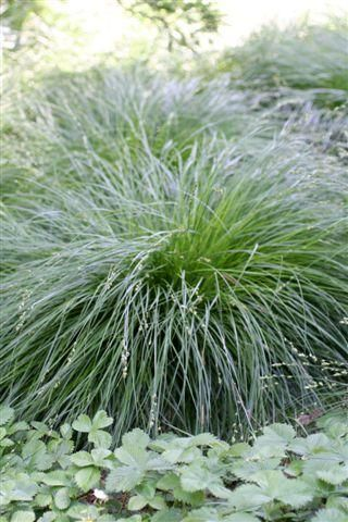 17 best images about pnw plants on pinterest prunus for Can ornamental grasses grow in shade