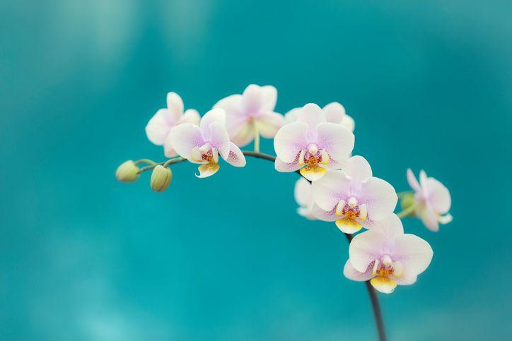 Je wil een orchidee, maar weet niet hoe je die schitterende bloem moet verzorgen? Of hoeveel water je ze best geeft? Met deze tips hou je de orchidee gezond!