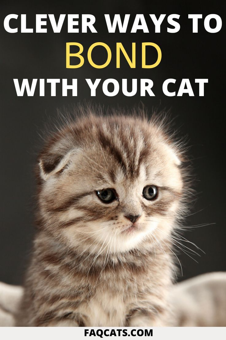 How To Bond With Your Siamese Cat A Step By Step Guide Faqcats Com In 2020 Siamese Cats Cats Cute Cats And Kittens