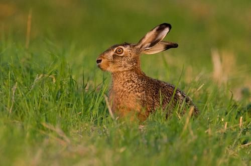 A hare sits on a meadow on September 2, 2014 near Sehnde, central Germany.