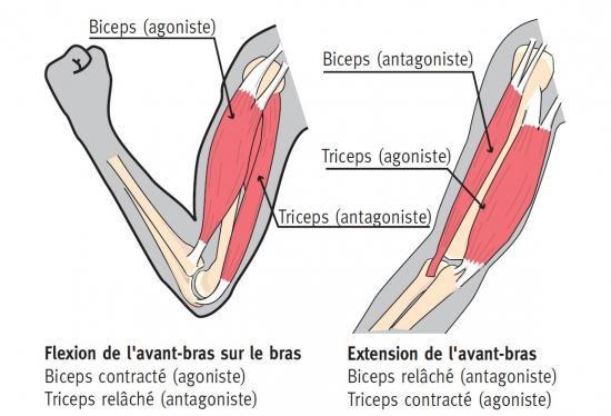 Le bras : muscles et impulsions