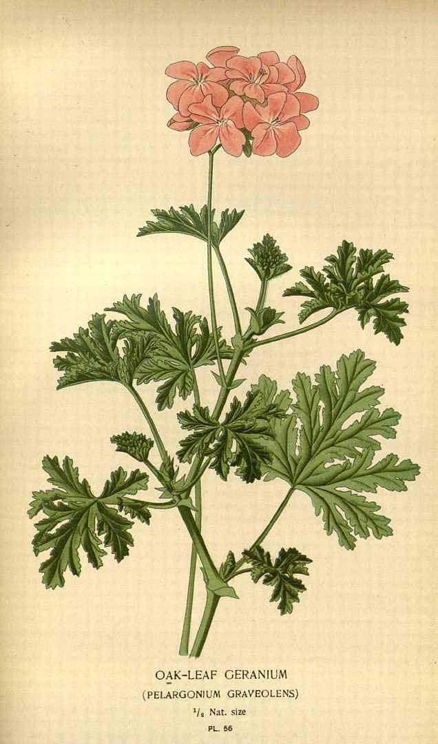 Oak leaf Geranium