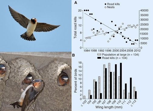 Cliff Swallows have evolved shorter wings, to avoid cars