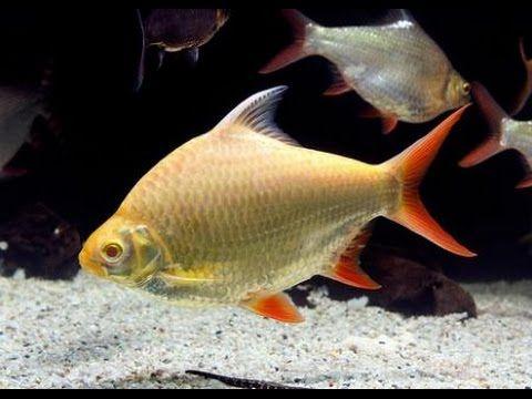 Аквариумная рыбка, Барбус лещевидный, Барбус Шванифельда, Barbus schwane...