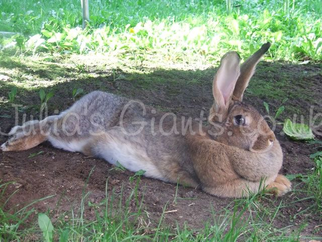 F Giant Rabbit Giant Rabbit