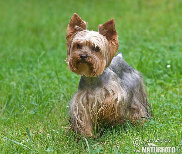 yorkie pictures | Yorkshire Terrier Fotos, Yorkshire Terrier Bilder | Fotobank Naturfoto ...