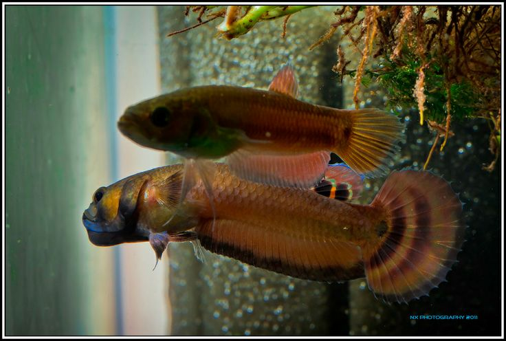17 best images about fish on pinterest auction malawi for Betta fish mating