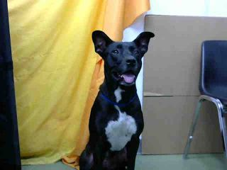 MURDERED‼️ SHAME DEVORE, CALIFORNIA‼️EUTH LIST. Sissy ID#A682434. 4 yr. old female Pit Bull Terrier. Rescue only. Dog aggressive. Has been at the shelter since 09/22/17.