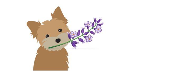 Yorkie's lavender