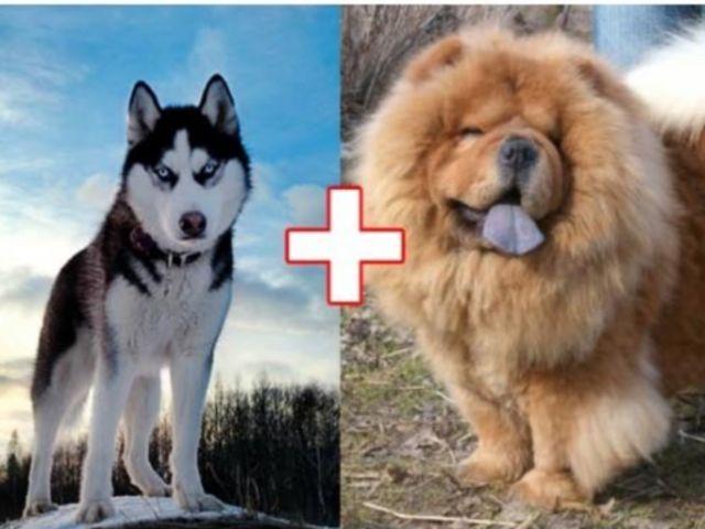 Husky + Chow-Chow