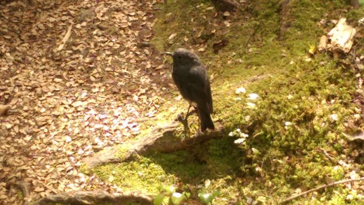 NZ bush Robin...(A friendly little native.) - TAKITIMU TIKI TOURS...Te Anau's all new 2 hour local scenic experience.