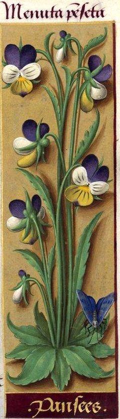 Pansees - Menuta penseta (Viola tricolor L. = pensée) -- Grandes Heures d'Anne…
