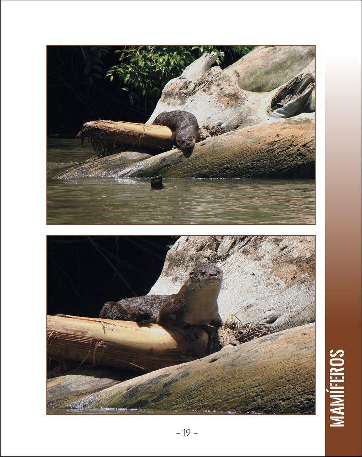 La vida silvestre en Centroamerica 1; 25 animales asombrosos que viven en als selvas tropicales y los rios. Serie Wildlife Around The World. Fotografia y Texto de Cyril Brass. Pagina 19 -  La nutria de rio neotropical