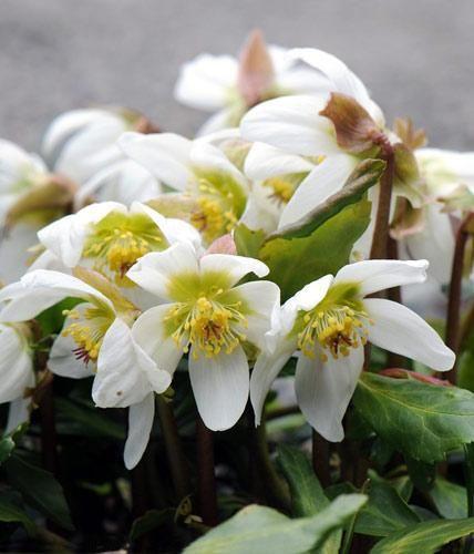 Christrosenblühen ab Dezember und sind echte Schneeköniginnen im Garten, die sich auch bestens als Deko eignen.