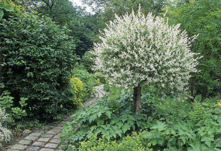 Die Japanische Schmuck-Weide sollte man jedes Frühjahr kräftig zurückschneiden. So bleibt die Kugelform erhalten und das Laub färbt sich schön aus