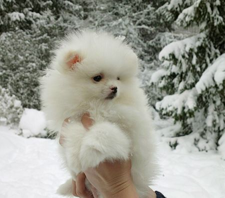 Spitz nain Pomeranien disponibles et prix par Newsletter Pomeranian puppies available and prices on Newsletter