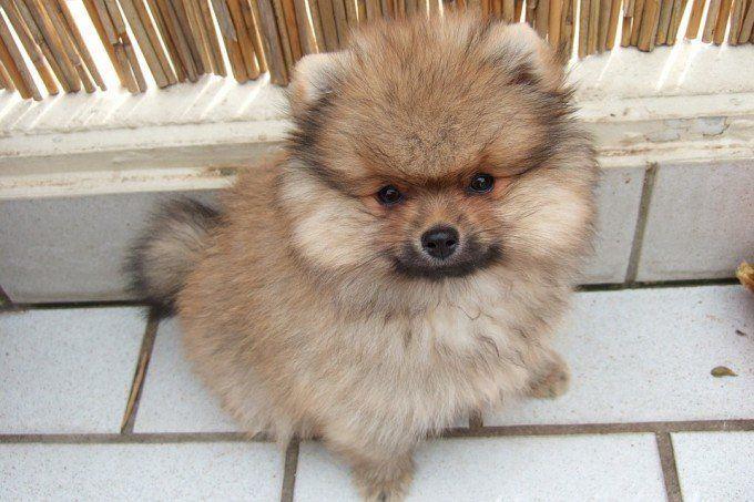 Cute Mini Spitz Dog Pugcartoon Dog Breeds Toy Dog Breeds Dog Toys