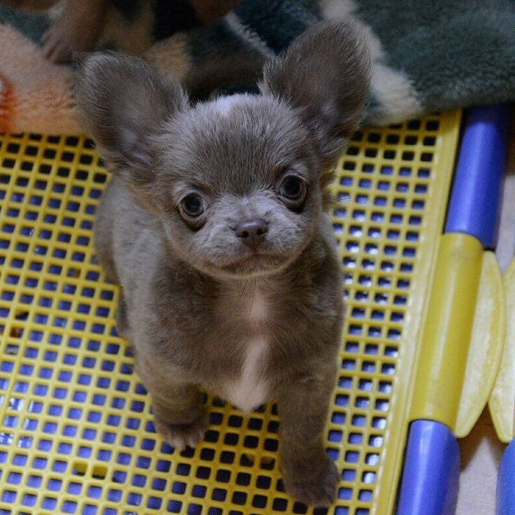 Blue long haired chihuahua puppy Usually not a chihuahua person but they resemble papillons (which are hard to find in my area). Both can develop small dog syndrome but any dog with a loving family and socialization can be a good dog.