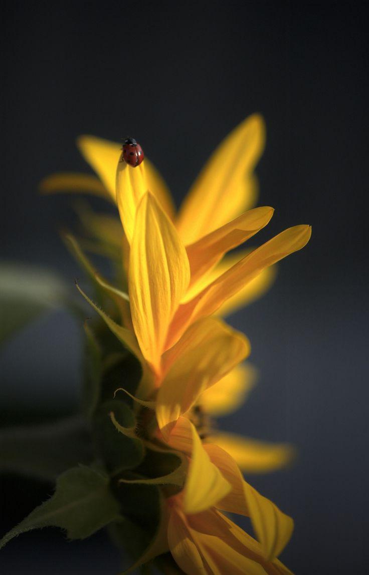 A tireless little ladybug on the rise.