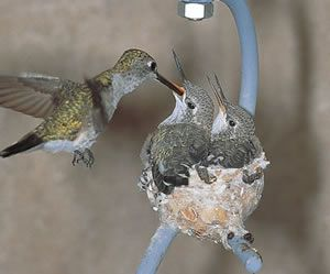 """Female hummingbirds will need nesting material to make her nest. She likes to use nice soft material like moss and lichen. She also likes to use cotton fluffs, bits of willows, soft plant pieces, dryer lint, and leaf hairs. She will bring these items back to her nest a little at a time, gluing it all together with spider webs. The spider webs make terrific glue for the nest, allowing the nest to stretch and be flexible as the baby hummingbirds grow."""