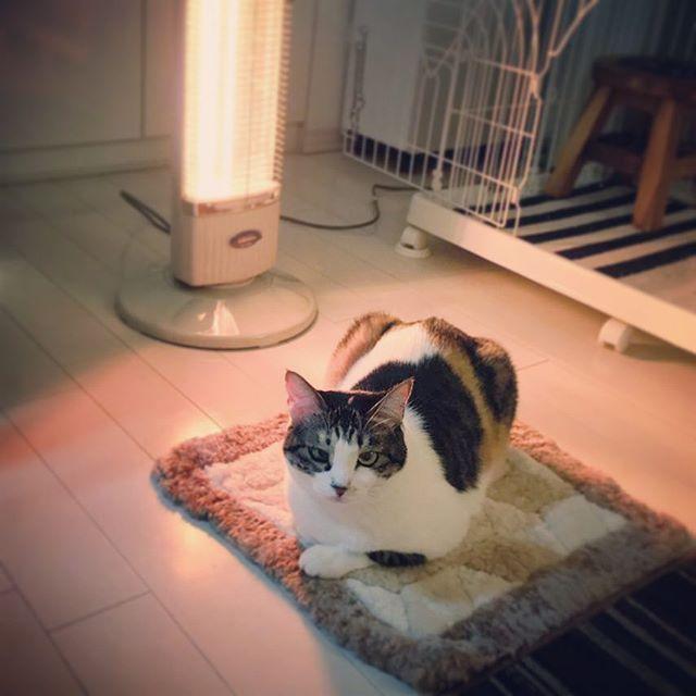 # ムーン 2016.1.10 なんだかんだ暖冬だったし お正月もあったかかったのに 急に寒くなったので もう1台ストーブ出したら そこから離れなくなった フローリングでゴロゴロするのもかわいそうなので 古いチェアシート置いてあげたら ずっと前からここが定位置でした、みたいな顔してる ホットカーペットよりいいのかなぁ? #猫 #ねこ #ネコ #猫部 #ねこ部 #ネコ部 #にゃんこ #ニャンコ #ペコねこ部 #cat #catsofinstagram #catsygrambonnie_t1002016/03/05 11:45:49