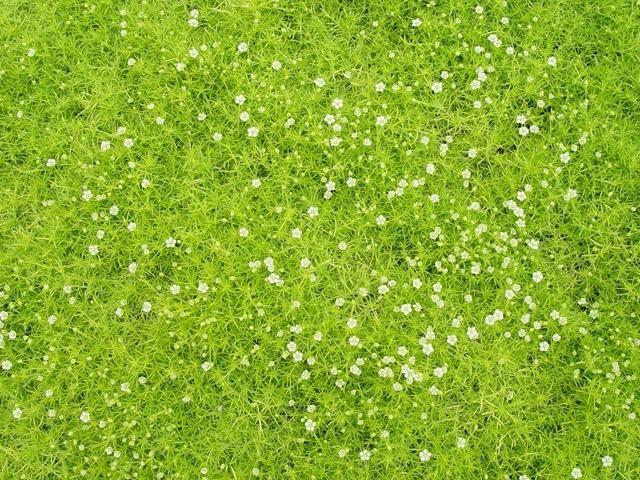 мшанка ирландский мох