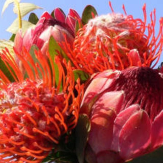 Deze prachtige Protea is natuurlijk te koop op de Adderley Flower Market!