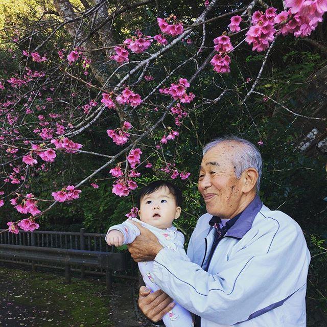 【mihoharu79】さんのInstagramをピンしています。 《#ひいおじいちゃん#ひ孫#もう桜#桜#名護桜祭り#なんぐすく#東京では考えられない#里帰り#沖縄#地元らぶ#明後日から東京#現実逃避#なんなのこのポカポカ#南国#嬉しいね#思い出#myfamily #4世代#べびまる#生後6カ月#7月生まれ》