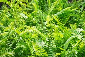 Bold Sword Fern  Scientific Name: Nephrolepis biserrata Family: Dryopteridaceae Toxicity: Non-Toxic to Dogs, Non-Toxic to Cats, Non-Toxic to Horses