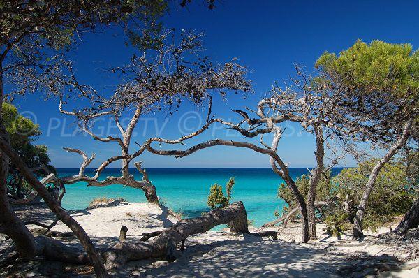 Foto spiaggia Saleccia - Corsica