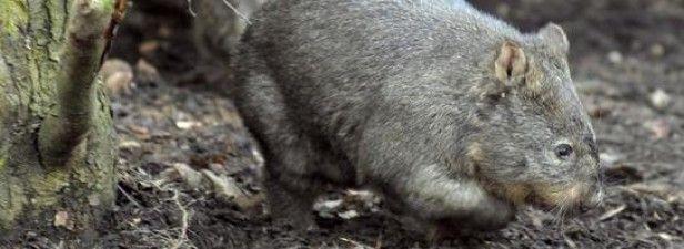 Ältester Wombat der Welt im Zoo Duisburg gestorben