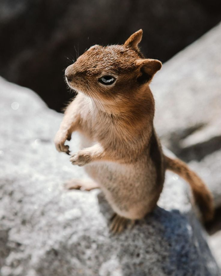 """Similar in appearance to the chipmunk, the golden-mantled ground squirrel is …"